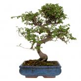 Zelkova parvifolia 10 años OLMO CHINO