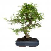 Zelkova parvifolia 16 años OLMO CHINO