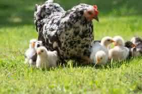 10 Cosas que hay que saber para tener gallinas