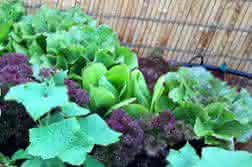 Associazioni di coltivazioni negli orti urbani