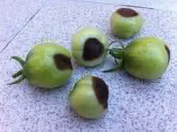 Cómo combatir la podredumbre apical o peseta del tomate