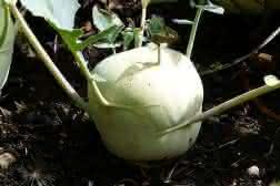 Come coltivare i cavoli rapa nel nostro orto