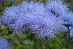 Cultivos y cuidados del agerato azul