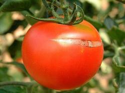 ¿Por qué se agrietan los tomates?