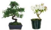 Bonsaïs et Pré-bonsaïs