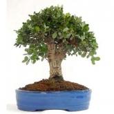 Quercus sp. 10 años