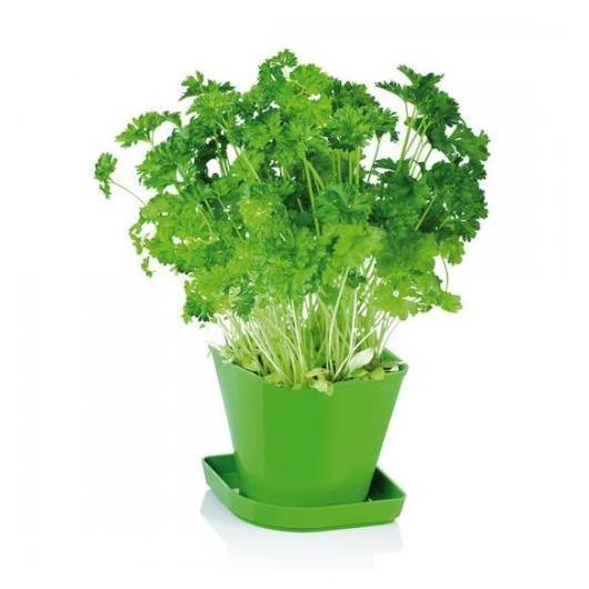 Juego para cultivar hierbas arom ticas sense perejil por 4 - Plantar plantas aromaticas ...