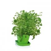 Juego para cultivar hierbas aromáticas Sense Mezcla Asiática