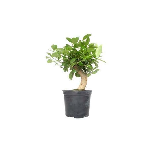 Pré-bonsaï Citrus sp. 9 ans