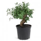 Prebonsai Quercus 8 anni ALCORNOQUE