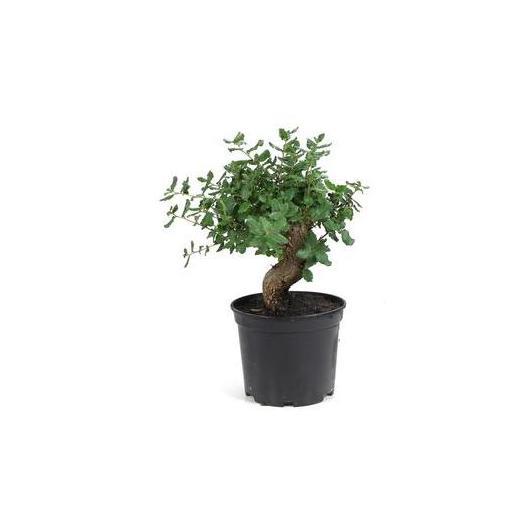 Pré-bonsaï Quercus suber (Chêne-liège) 8 ans