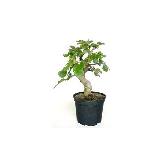 Prebonsái Ficus carica 10 años