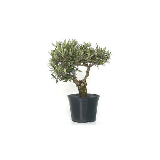 Pré-bonsaï olivier (Olea) 10 ans