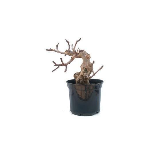 Prebonsái Ficus carica 12 años