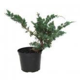 Pré-bonsai Juniperus chinesis 12 anos