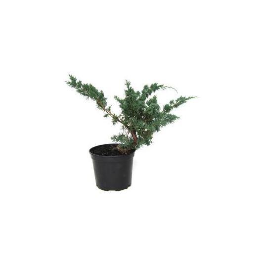 Prebonsái Juniperus chinensis 12 años