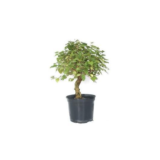 Pré-bonsaï Murier (Morus) 12 ans