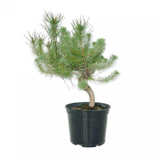 Prebonsai Pinus pinea 13 anni