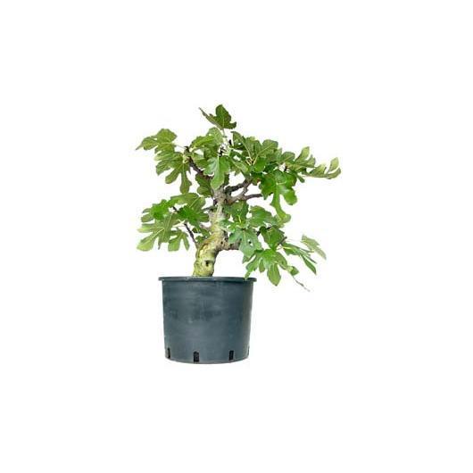 Prebonsai Ficus carica 14 anni