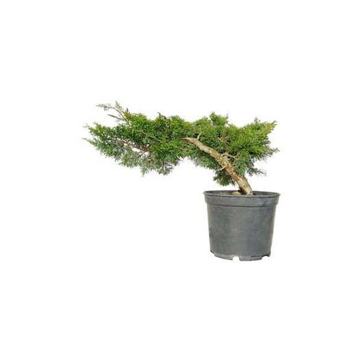 Prebonsai Juniperus chinensis 14 anni