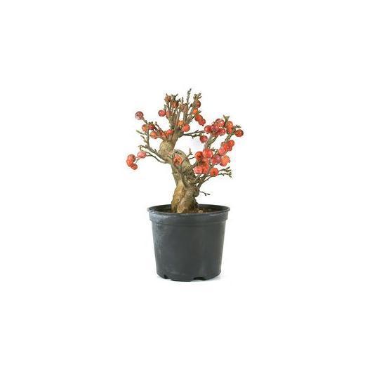 Pré-bonsaï pommier (Malus) 14 ans MANZANO