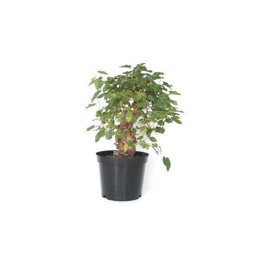 Pré-bonsaï Murier (Morus) 14 ans