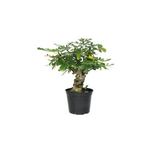 Pré-bonsaï figuier (Ficus carica) 19 ans