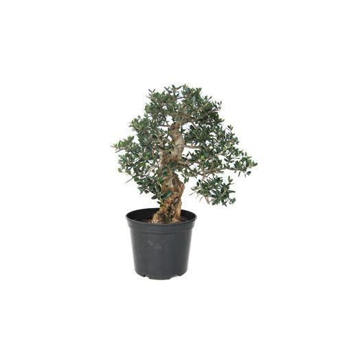 Pré-bonsaï olivier sauvage 20 ans