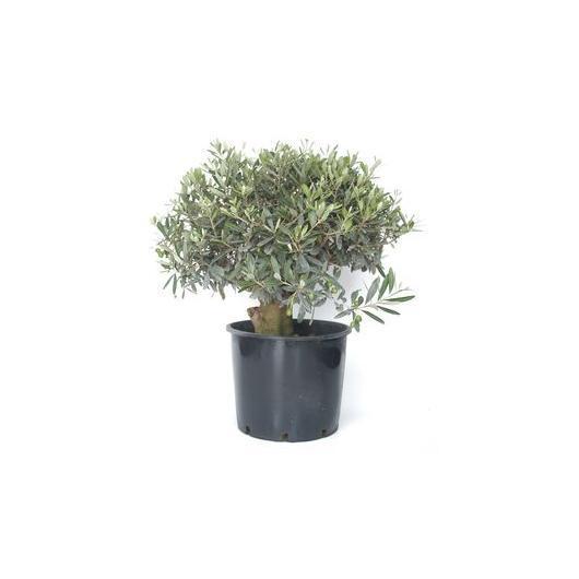 Pré-bonsaï olivier 20 ans