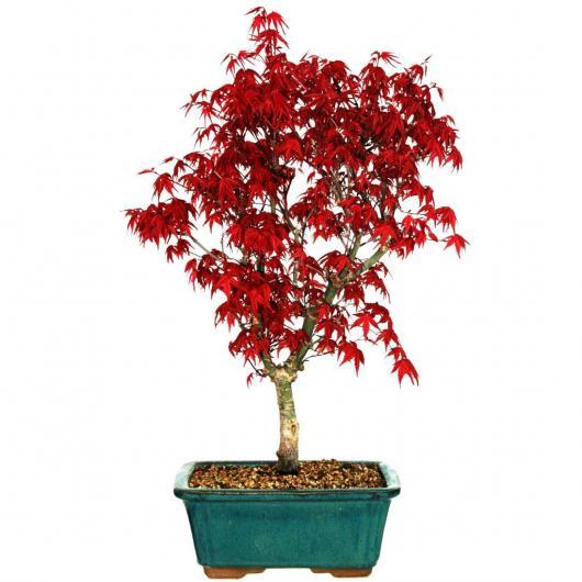 Acer palmatum sans feuille 14 ans ARCE