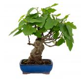 Ficus carica 12 yrs old FIG