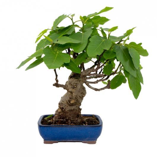 Ficus carica 12 años HIGUERA