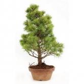 Pinus pentaphylla 14 anos