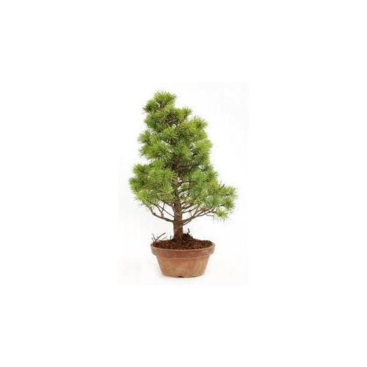 Pinus pentaphylla 14 años
