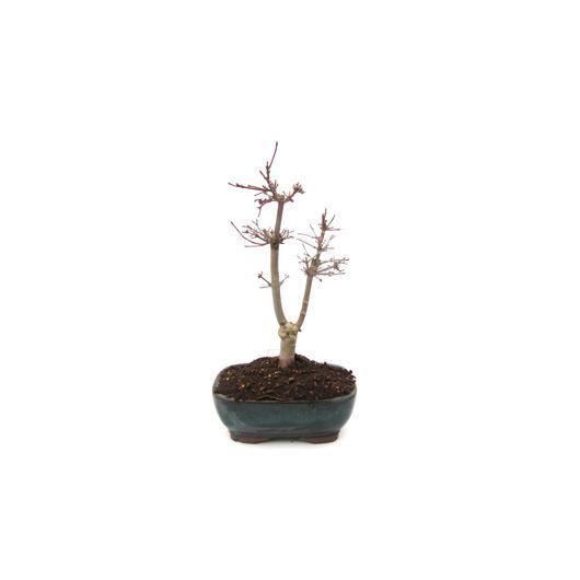 Acer palmatum deshojo (Érable du Japon) 15 ans