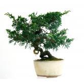 Juniperus chinensis 16 anos