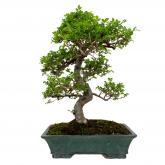 Zelkova parvifolia 19 años OLMO CHINO