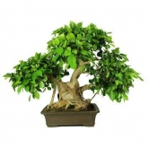 Ficus retusa 29 anos