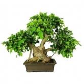 Ficus retusa 29 años