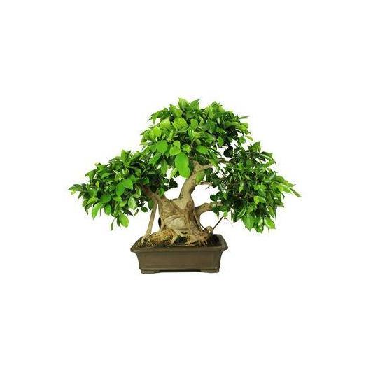 Ficus retusa 29 anni