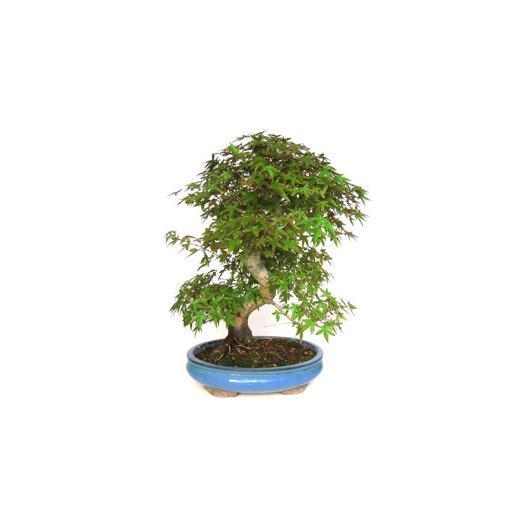 Acer palmatum deshojo 35 años ARCE