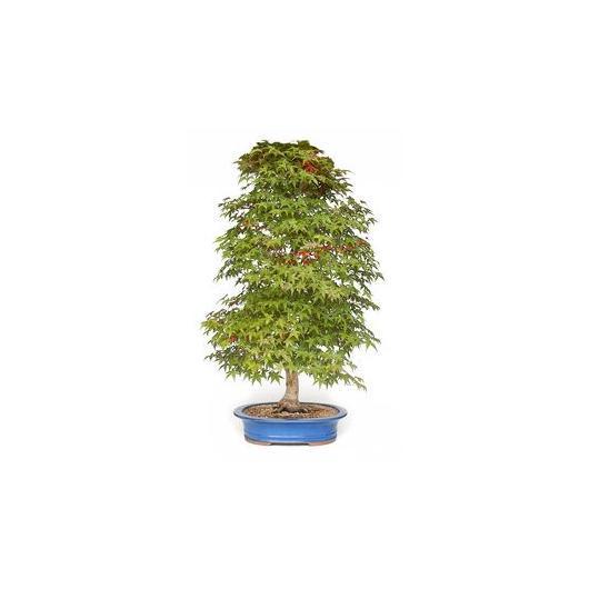Acer palmatum deshojo 40 anni ACERO