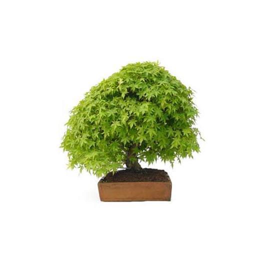 Acer palmatum deshojo 45 anni ACERO