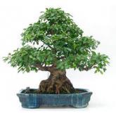 Ficus retusa 45 años