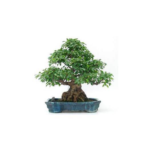 Ficus retusa 45 ans