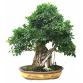Ficus retusa 52 años