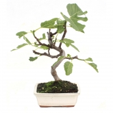Ficus carica 7 yrs old FIG
