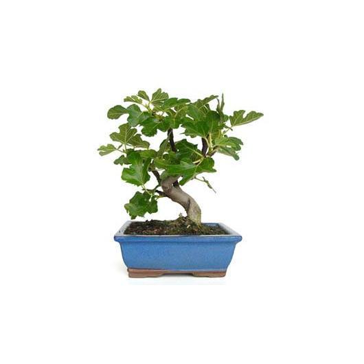 Ficus carica 7 años HIGUERA