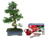 Confezione bonsai da interno Carmona microphylla 16 anni