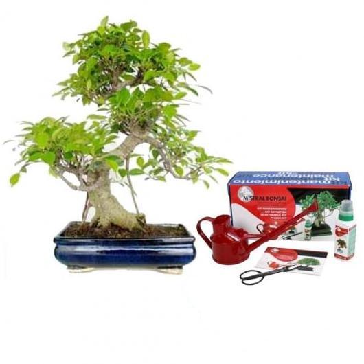 Confezione bonsai da interno Ficus retusa 16 anni